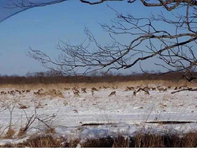 鹿の群れ1
